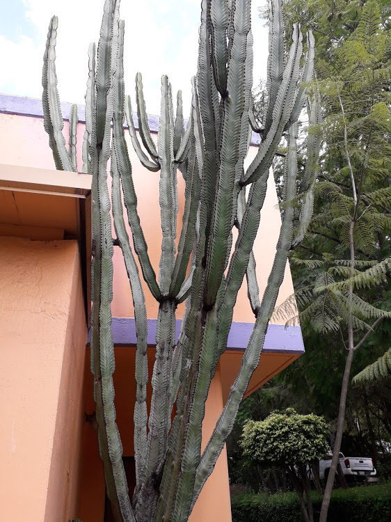 A large cactus plant beside a brightly coloured building